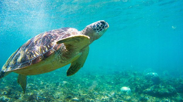 Turtle. Image © Glebstock / Adobe Stock